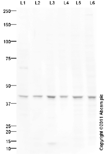 Western blot - Anti-HRH4 antibody (ab97997)
