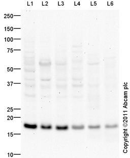 Western blot - Anti-CD9 antibody (ab97999)