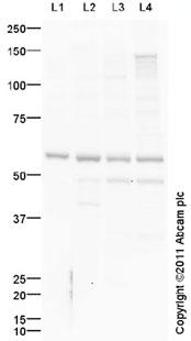 Western blot - Anti-FAAH1 antibody (ab98065)