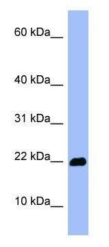 Western blot - Anti-Olfactory Marker Protein antibody (ab98124)