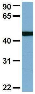 Western blot - Anti-C22orf28 antibody (ab98231)