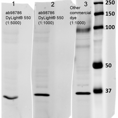 Western blot - Rabbit Anti-Mouse IgG H&L (DyLight® 550) preadsorbed (ab98786)