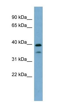 Western blot - Anti-MAFA antibody (ab98859)