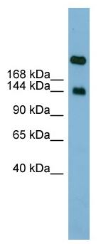 Western blot - Anti-SI antibody (ab98872)