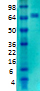 Western blot - Anti-Kv4.2 antibody [S57-1] (ab99040)