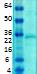 Western blot - Anti-KChIP2 antibody [S60-73] (ab99041)