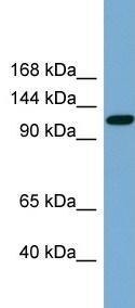 Western blot - Anti-KCC2 antibody (ab99129)