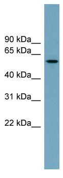 Western blot - Anti-MNS1 antibody (ab99146)