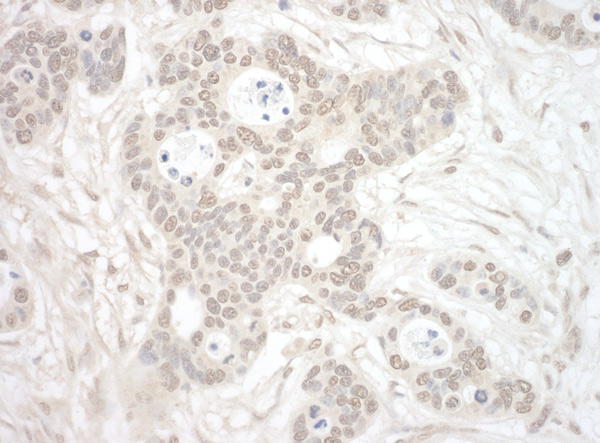 Immunohistochemistry (Formalin/PFA-fixed paraffin-embedded sections) - Anti-ORC3L antibody (ab99278)