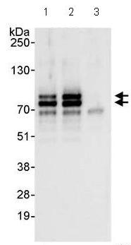 Immunoprecipitation - Anti-RAD18 antibody (ab99334)