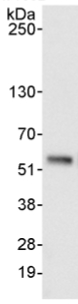 Immunoprecipitation - Anti-pre-mRNA cleavage factor I (59 kDa subunit) antibody (ab99348)